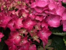 Flores bonitas cor-de-rosa da hort?nsia, fim acima fotografia de stock