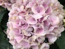 Flores bonitas cor-de-rosa da hort?nsia, fim acima fotos de stock