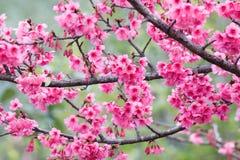 Flores bonitas cor-de-rosa de Sakura Fotografia de Stock