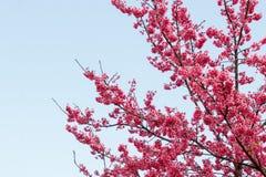 Flores bonitas cor-de-rosa de Sakura Imagens de Stock Royalty Free