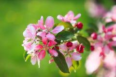 Flores bonitas da árvore de maçã Imagem de Stock Royalty Free