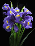 Flores bonitas da íris Foto de Stock