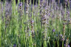 Flores bonitas da alfazema Imagens de Stock