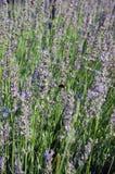 Flores bonitas da alfazema Fotografia de Stock