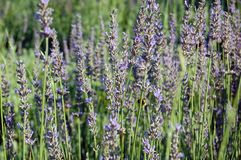 Flores bonitas da alfazema Fotos de Stock Royalty Free