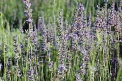 Flores bonitas da alfazema Imagens de Stock Royalty Free