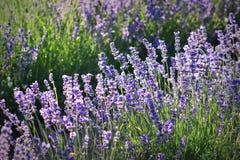 Flores bonitas da alfazema na natureza Imagem de Stock Royalty Free
