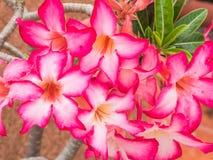 Flores bonitas da azálea Fotos de Stock
