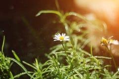 Flores bonitas da camomila no campo no dia ensolarado fotografia de stock royalty free