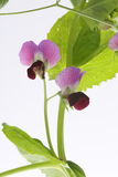Flores bonitas da ervilha Foto de Stock Royalty Free