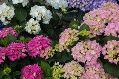 Flores bonitas da estação do hortensia da hortênsia na primavera imagem de stock