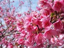 Flores bonitas da flor de cerejeira Imagem de Stock