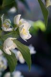 Flores bonitas da maçã Fotos de Stock