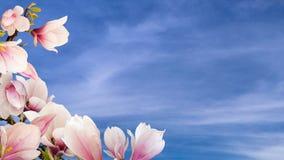 Flores bonitas da magnólia foto de stock royalty free