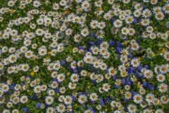 Flores bonitas da margarida como o fundo imagem de stock