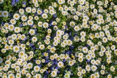 Flores bonitas da margarida como o fundo imagens de stock royalty free