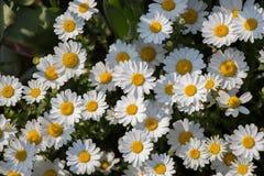 Flores bonitas da margarida como o fundo fotos de stock