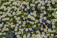 Flores bonitas da margarida como o fundo foto de stock