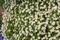 Flores bonitas da margarida como o fundo imagem de stock royalty free