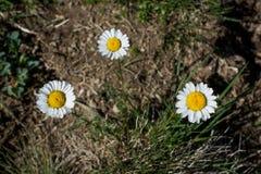 Flores bonitas da margarida na natureza Fotografia de Stock Royalty Free