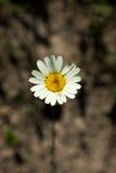 Flores bonitas da margarida na natureza Fotos de Stock