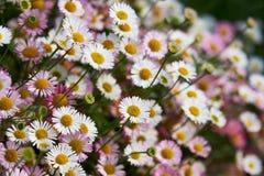Flores bonitas da margarida no jardim imagens de stock