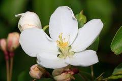 Flores bonitas da mola de uma árvore de maçã em um prado da flor Fotos de Stock