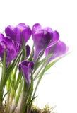 Flores bonitas da mola do snowdrop da arte Fotografia de Stock