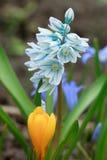 Flores bonitas da mola em um prado verde Foto de Stock Royalty Free