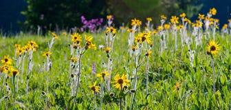 Flores bonitas da mola em uma floresta da montanha Imagem de Stock Royalty Free