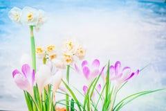 Flores bonitas da mola: narcisos amarelos e açafrões Fotografia de Stock
