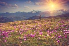Flores bonitas da mola nas montanhas Imagens de Stock Royalty Free