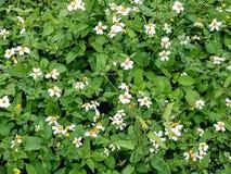 Flores bonitas da mola no campo Imagem de Stock Royalty Free