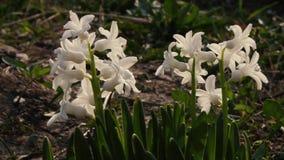 Flores bonitas da mola no close up do jardim filme