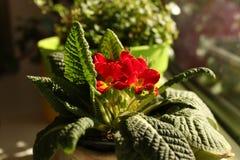 Flores bonitas da mola da prímula em uma soleira em casa fotos de stock