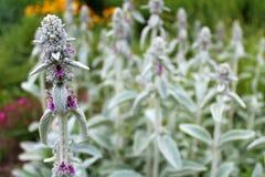 Flores bonitas da orelha dos cordeiros Imagem de Stock