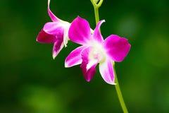 Flores bonitas da orquídea roxa Fotos de Stock