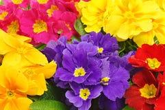 Flores bonitas da prímula Fotos de Stock