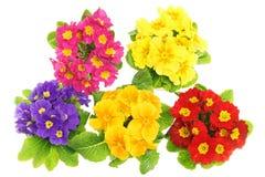 Flores bonitas da prímula das cores Fotografia de Stock Royalty Free