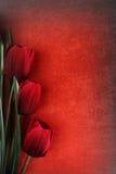 Flores bonitas da tulipa Imagem de Stock