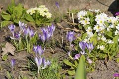 Flores bonitas da violeta do chrysanthus do açafrão da mola Foto de Stock