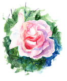 Flores bonitas das rosas Imagens de Stock Royalty Free