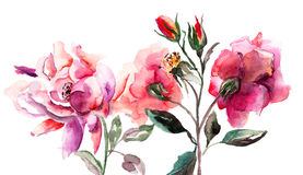 Flores bonitas das rosas Fotos de Stock Royalty Free