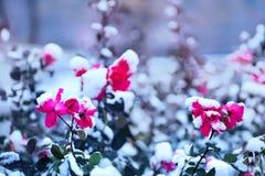 Flores bonitas das rosas vermelhas cobertas com a neve macia Fotografia de Stock Royalty Free