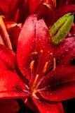 Flores bonitas de florescência do lírio na vista macro fotografia de stock