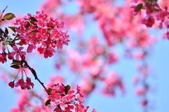 Flores bonitas de la primavera en ramas de la manzana de cangrejo Copie el espacio fotos de archivo libres de regalías