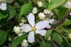 Flores bonitas de uma árvore de maçã em um prado verde Imagem de Stock Royalty Free