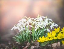 Flores bonitas del snowdrop en la primavera al aire libre fotografía de archivo