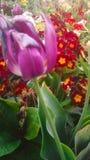 Flores bonitas del tulipán Imágenes de archivo libres de regalías