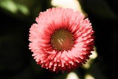 Flores bonitas do áster na natureza Foto de Stock Royalty Free